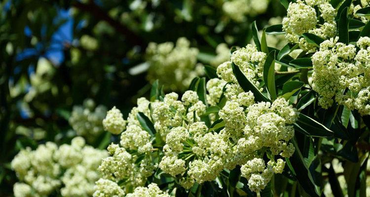 Dịu dàng mùa thu Hà Nội bên mùi hoa sữa nồng nàn